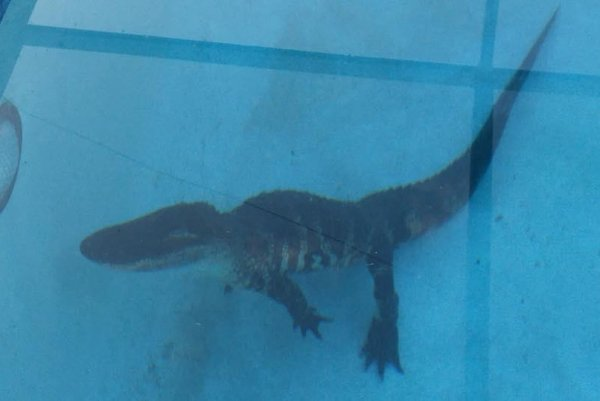 Look alligator takes a swim in florida family 39 s pool - Find me a swimming pool ...