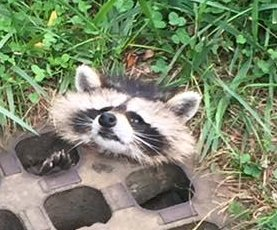 Animal control officer uses cooking grease to rescue trapped raccoon