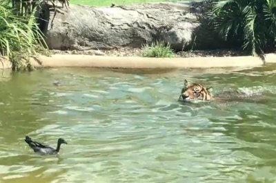 'World's bravest duck' swims with Sumatran tiger at Australian zoo
