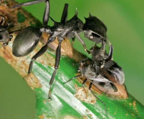 Ancient gut microbe allowed turtle ants to abandon offense and focus on defense
