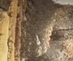 70-pound beehive found under California man's garden shed