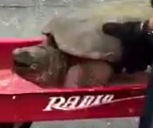 Police officer uses wagon to help snapping turtle cross road