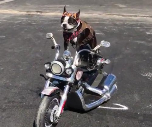 Biker dog turns heads with San Diego motorcycle ride
