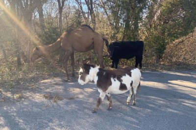 Loose camel, cow and donkey wander into Kansas neighborhood