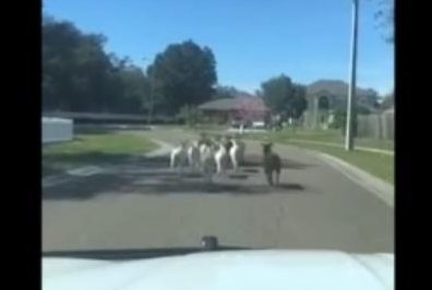 Deputy channels 'inner cowboy' to round up loose goats