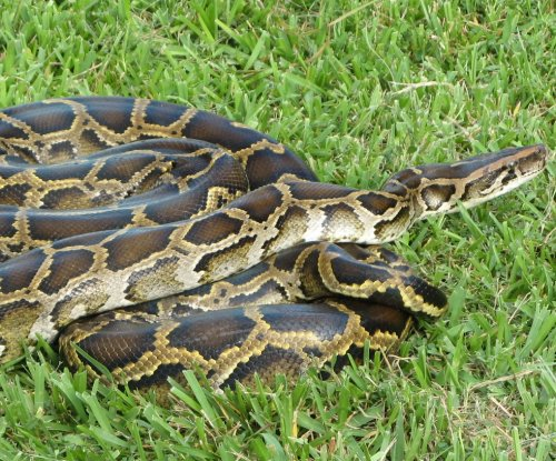 Australia couple finds 10-foot python in Christmas tree