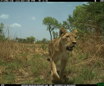 West African lions don't prefer national parks to hunting preserves