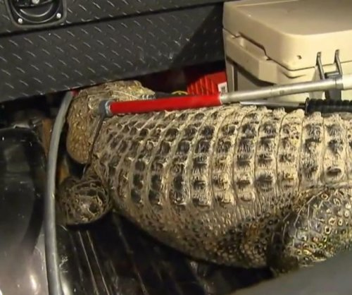 Large alligator captured outside Texas middle school