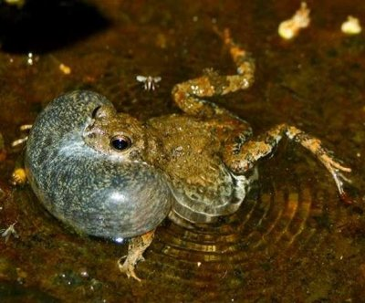 Mating decisions of female frogs influenced by 'decoy effect'