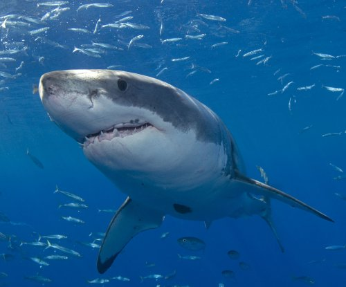 Great white sharks and tuna share super predator genes