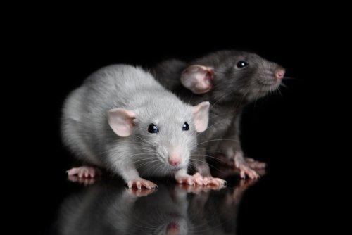 Hypertension in offspring of hypertensive rats reversed: Study