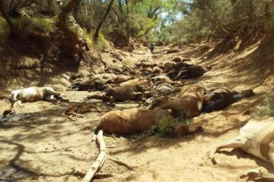 Scores of feral horses found dead in Australian heatwave