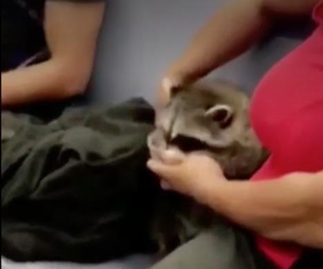 Woman feeds pet raccoon on New York subway