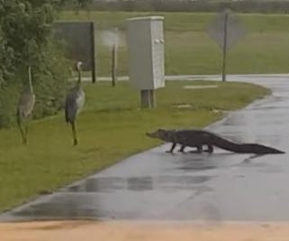 Alligator 'punked' by sandhill crane in Florida