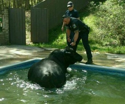 Deputies 'deal with a whole lot of bull' in backyard swimming pool