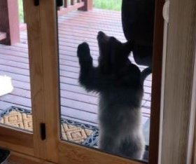 Watch: Bear cub tries to get through glass door at Colorado home