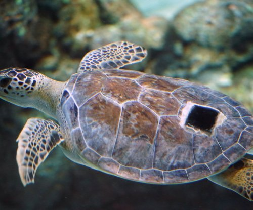 For hungry young sea turtles, plastic at ocean's surface is 'evolutionary trap'