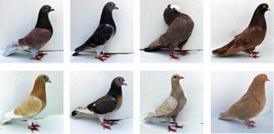 Genetic study of pigeon color could yield clues to human skin diseases