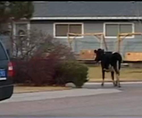 Cow leads police on chase through Idaho town