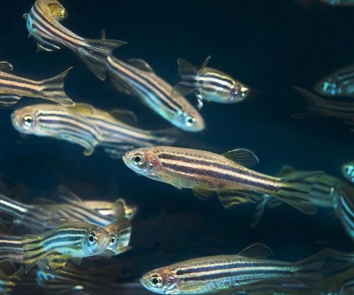 Underwater matchmaking: Scientists pair zebrafish mates by personality