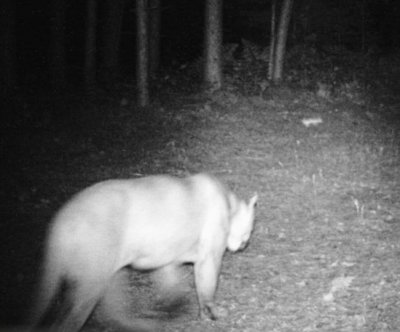 Cougars sighted in Michigan -- 900 miles from nearest population