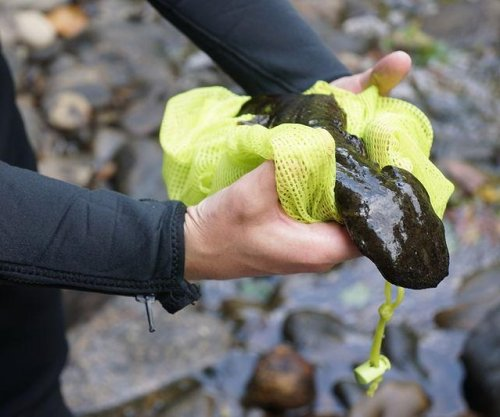 Eastern hellbender salamander may warrant endangered status in New York