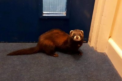 Wandering polecat rescued from government building in Wales