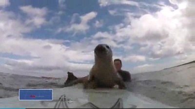 Spectacular summer video: Seal on a surfboard
