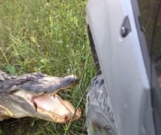 Alligator strikes decisive victory in fight against truck