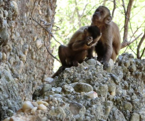 Capuchin monkey observed making stone flakes in Brazil