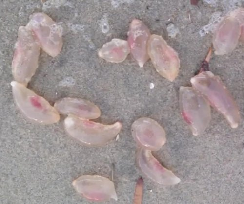 Mysterious 'jelly' creatures wash up on California beach