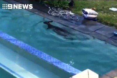 Drowning kangaroo rescued from woman's backyard pool