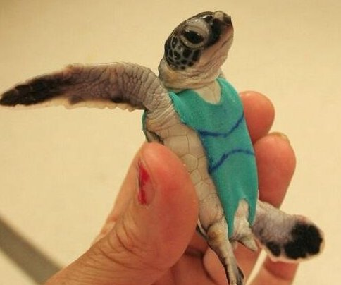 Researcher puts sea turtles in swimsuits to collect fecal samples