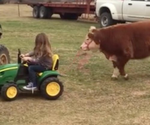 Young Oklahoma girl tows calf using toy tractor