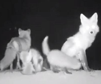 Rare red fox pups caught on video for the first time