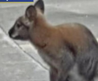 Escaped wallaby captured in Dallas neighborhood