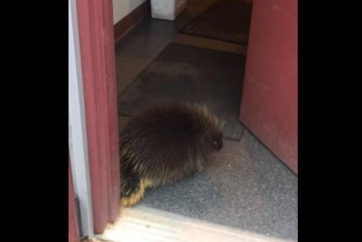 Porcupine ejected from kitchen of Alaska bar