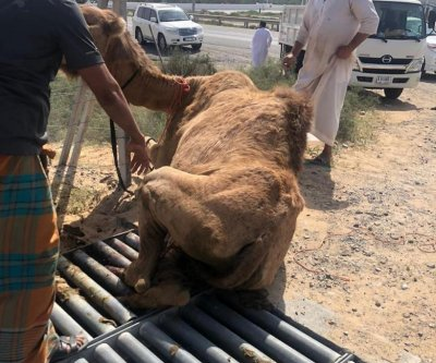 Camel rescued from metal grid in United Arab Emirates