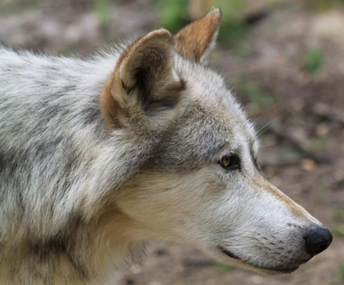 Norway imprisons wolf hunters in landmark case