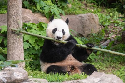 Bei Bei the panda to depart Smithsonian National Zoo for China