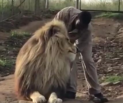 Lion blocks road to get attention from keeper at South African sanctuary