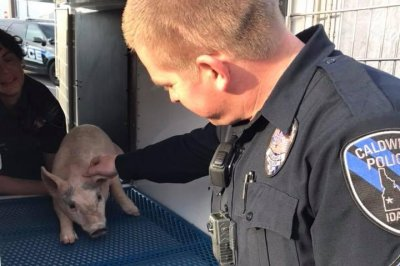 Police seek owner of three little pigs found running loose