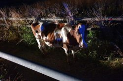 Highway shut down after 'idiots' free cow from farm