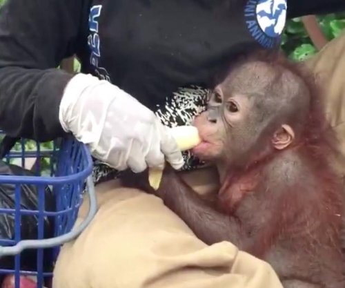 Orangutan who survived gunshot starts first day of 'baby school'