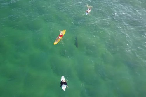 Drone records shark swimming under oblivious surfers
