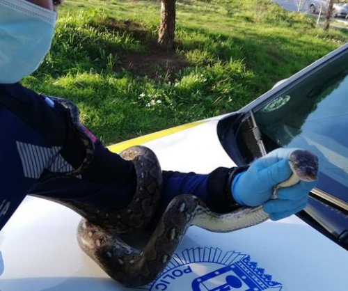 Loose boa constrictor found wandering Madrid neighborhood