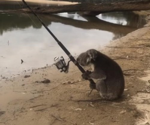 Koala goes fishing with unattended pole