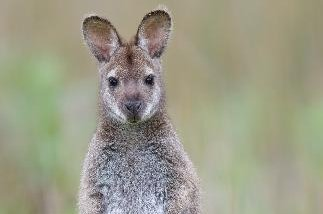 Police searching for escaped zoo wallaby
