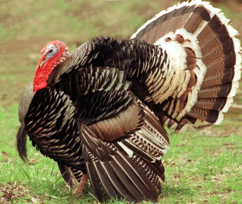 Wild turkeys overrun New York neighborhood