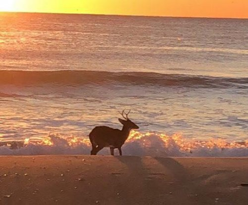 Deer spotted swimming at New Jersey beach